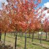 Autumn Blaze Maple in fall color. Fast growing cross between silver maple and red sunset maple.